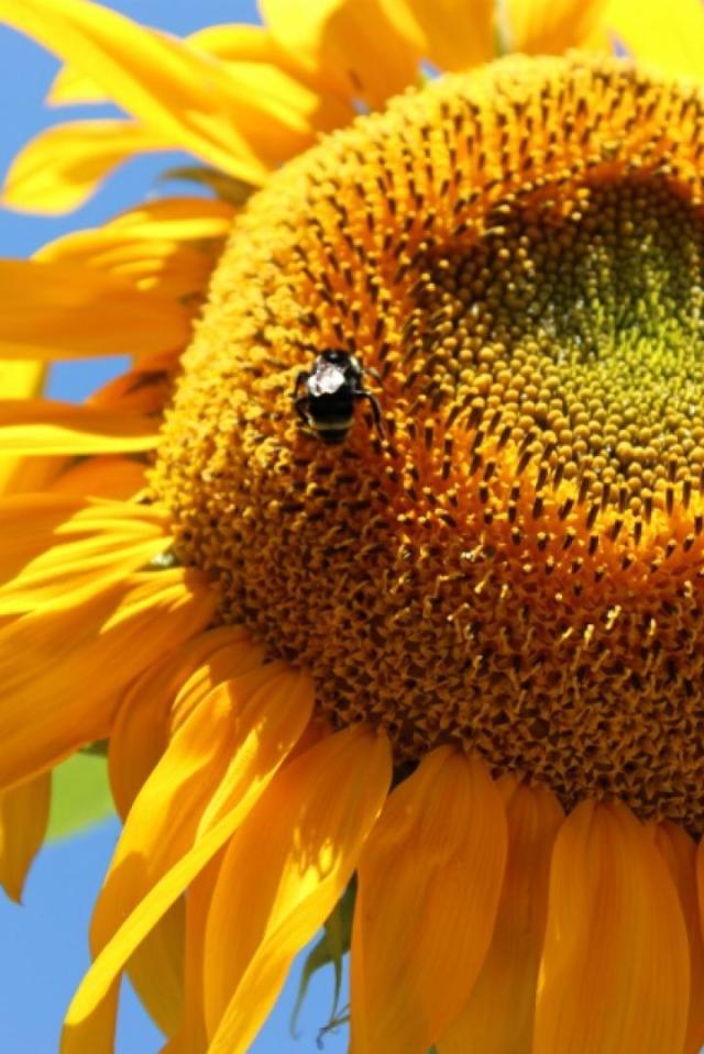 beesunflower6x9_427x640